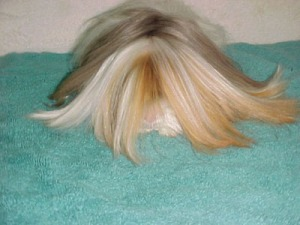 A very long haired satin Peruvian guinea pig