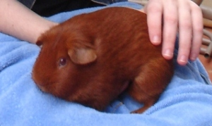 A round, ginger-coloured guinea pig sitting on a blue towel. My hands can be seen supporting and petting her.