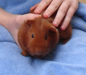 Pepper, a small ginger-coloured guinea pig, is padding towards the camera on a blue towel as I hold and stroke her.