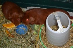 Pepper, a small ginger guinea pig, has her head pressed against that of Cardamom, a larger ginger guinea pig. They're on straw bedding, surrounded by food, staring at an empty bowl.