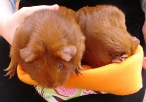 On Chally's black-clad lap, Pepper and Cardamom are in a pouch with a food pattern on the outside, and orange fleece lining which is folded over at the top. On the left, Chally has a hand supporting Cardie, whose little paws are sticking out. Pepper has her face buried in the fleece.
