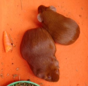 On orange fleece, with a food bowl poking in at the bottom, Pepper and Cardamom are viewed from above. They are pressed together, facing opposite directions: Pepper facing the top left, and Cardie the bottom right. There's a bit of carrot to the left.