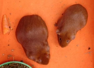 On orange fleece, with a food bowl poking in at the bottom, Pepper and Cardamom are viewed from above. They are both facing the bottom, angled in toward each other a little. There's a bit of carrot to the left.