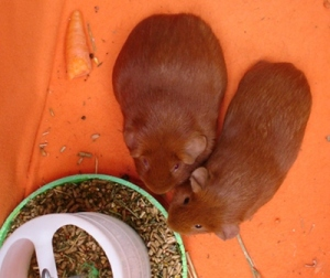 On orange fleece, with a food bowl poking in at the bottom, Pepper and Cardamom are viewed from above. They are pressed together, with noses at the bowl. There's a bit of carrot to the left.