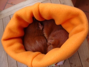 Resting on a chair, Pepper and Cardamom are in a pouch with a food pattern on the outside, and orange fleece lining which is folded over at the top. They are curled around each other.