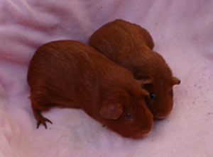 Pepper and Cardamom have their noses pressed together and their hindquarters apart, and the effect is of their forming a heart shape. They are both guinea pigs with vibrant red colouring, and Cardie is bigger than Pepper.