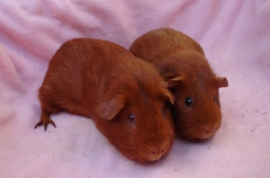 A close up of Cardamom and Pepper, the former to the left of the screen with her back right foot splayed out, and her daughter to the right, sitting quite demurely. They are both guinea pigs with vibrant red colouring, and Cardie is bigger than Pepper.
