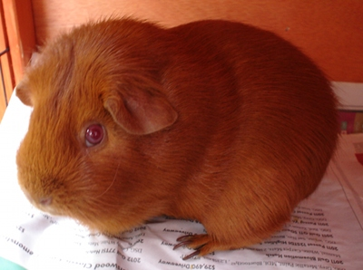 Cardamom, a ginger guinea pig, poses on some newspaper.