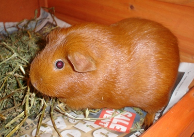 Pepper, a little orange guinea pig, next to a pile of lucerne.