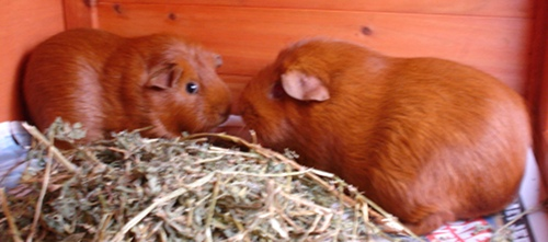 The guinea pigs huddle with their noses together behind a pile of lucerne. They're looking at the camera out of the corners of their eyes.