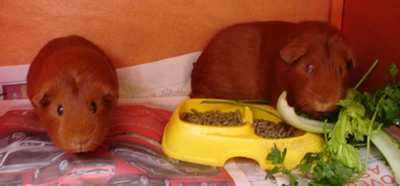 The guinea pigs, with the food still in front of Cardamom, pose facing the camera.