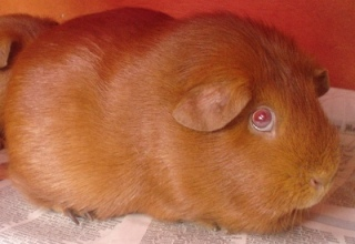 A close up of Cardamom, a red guinea pig with pink eyes.