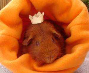 Cardamom, a ginger guinea pig, has a yellow flannel crown on her head. She is sitting in an orange fleece cuddle cup.