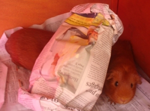 Pepper and Cardamom, two ginger guinea pigs, sit in their hutch. Cardamom's head is hidden under a newspaper tunnel. Pepper, next to the tunnel, is peering at the camera .