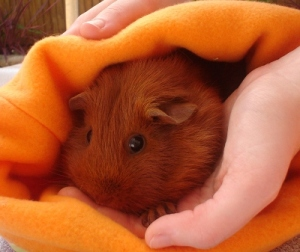 Pepper is a ginger guinea pig. She is sitting in an orange fleece cuddle cup. My right hand is on the top of the cup and my left is supporting her body.