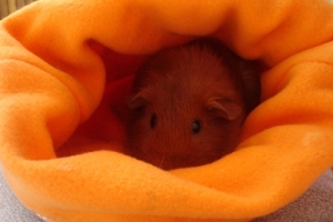 Pepper is a ginger guinea pig. She is sitting in the back of an orange fleece cuddle cup.