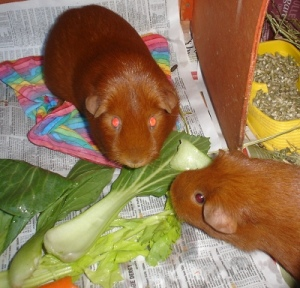 Cardamom and Pepper, ginger guinea pigs, eat bok choy. Cardamom is sitting on a rainbow tent, and they are both on newspaper. Some pellets are visible in the background.