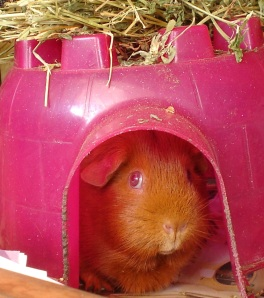 Cardamom, a ginger guinea pig with pink eyes, inside a pink guinea pig dome with lucerne on top.