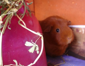 Pepper, a ginger guinea pig with brown eyes, beside a pink guinea pig dome with lucerne on top.