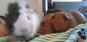 A black, grey, and white guinea pig approaches the camera while two ginger guinea pigs hang back.
