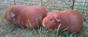 Pepper and Cardamom, two ginger guinea pigs, sit framed in grass.