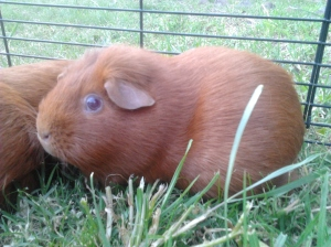 Cardamom, a ginger guinea pig, sits framed in grass with her child behind her.